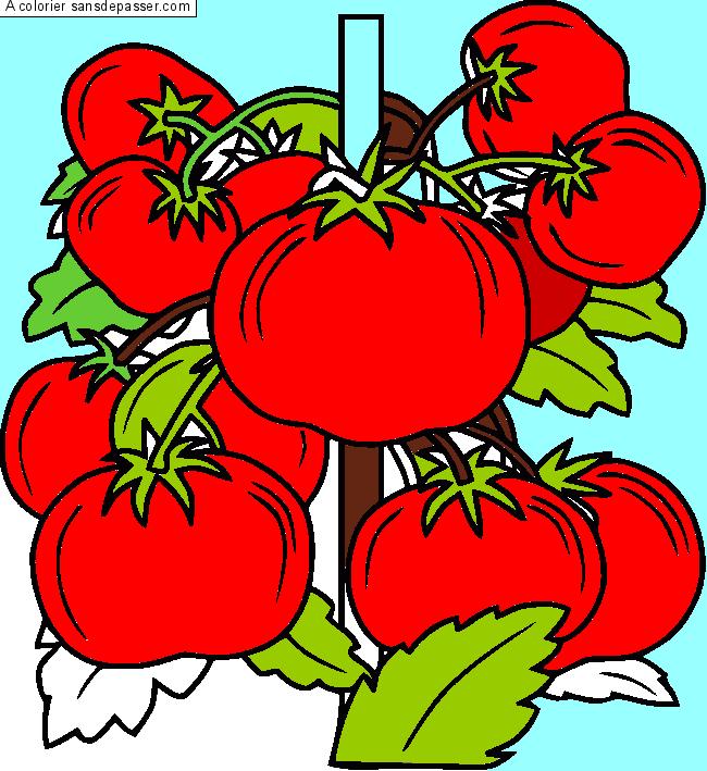 Dessin Colorié Pied De Tomates Par Un Invité Sans Dépasser